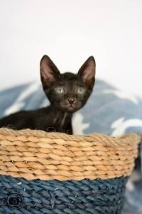 marmul kittens.jpg1.jpg1