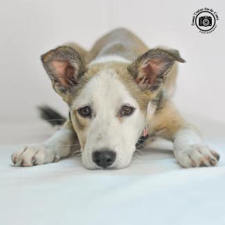 sia oman dog pet adoption