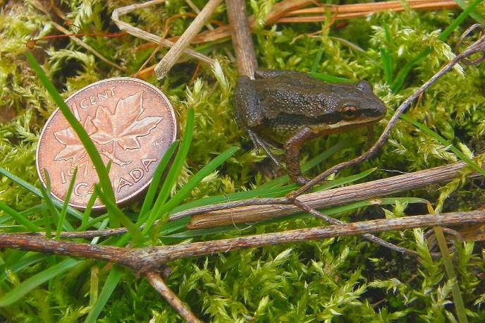 Chorus Frog Photo by Don Scallen, 2011