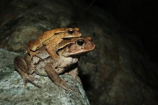 Large crested toad (Incilius cristatus)