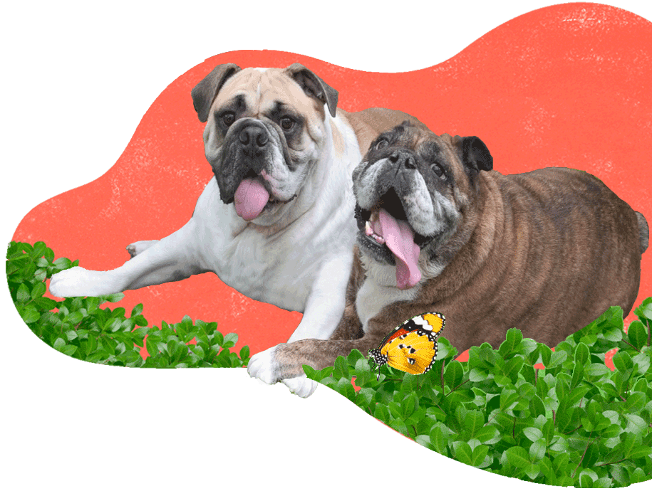 https://i1.wp.com/adorablebulldogs.com/wp-content/uploads/2020/11/Adorable-Bulldogs-915-x-690-1B.png?fit=915%2C690&ssl=1