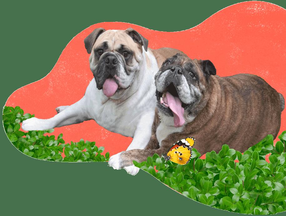 https://i1.wp.com/adorablebulldogs.com/wp-content/uploads/2020/11/Adorable-Bulldogs-915-x-690-1B.png?fit=915%2C690&ssl=1