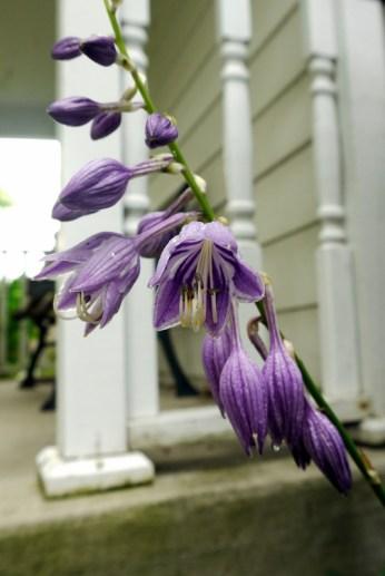 hosta flowers2