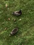 Et de trois canards 1_resize