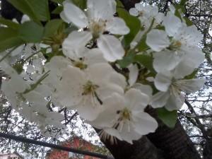 Flori pentru Karla