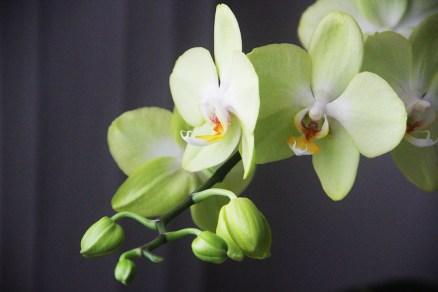 🍃🍀 Da minha sala! Orquídea Phalaenopsis florescendo pela segunda vez.🌸💮🌺🌹 🖥️ www.adrianogronard.com.br 📷 Adriano Gronard