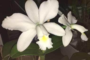 adriano-gronard-orquidea-cattleya-walkeriana-paisagismo-flores