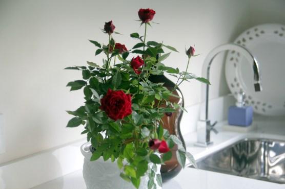 🌹🌹🌹🌹Roseira no vaso de cristal em uma varanda (meu ambiente)!!! 🖥️ adrianogronard.com.br 📷 Adriano Gronard