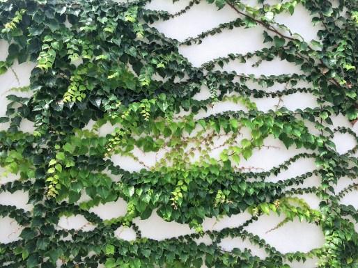 adriano-gronard-paisagismo-trepadeira-muro-impermeabilizado-falsa-vinha