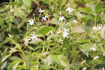 flor-jasmim-yasmin-estrela-trepadeira-adriano-gronard-arquitetura-paisagismo-decoração-interiores