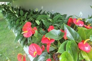 adriano-gronard-paisagismo-interiores-flor-lírio-da-paz-antúrio