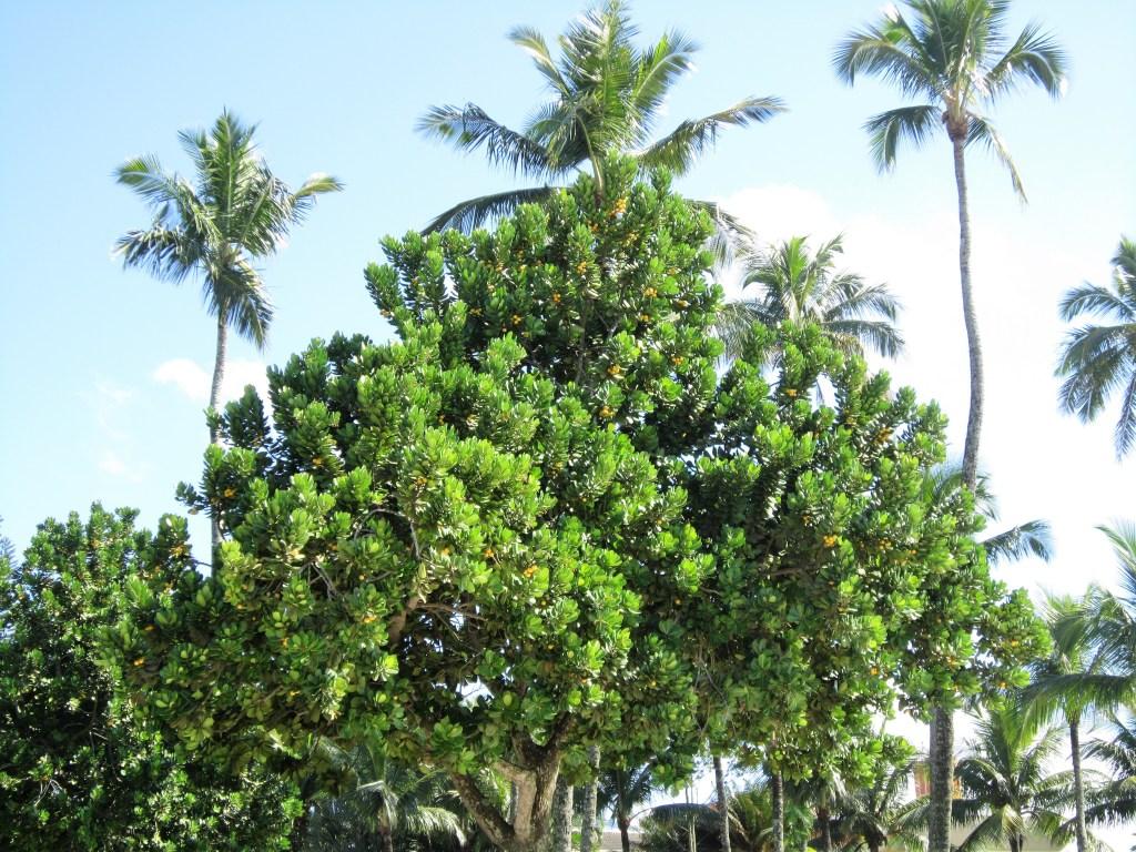 Amendoeira-da-praia com coqueiros ao fundo. Essa é uma paisagem muito comum em toda a orla brasileira, principalmente na Região Sudeste. Imagem: Adriano Gronard Local: Guarujá-SP