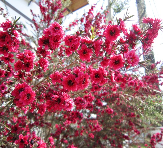 Flores de érica-japonesa (Manuka) na cor rosa avermelhada . As flores da Manuka também podem ter as cores rosa clara e branca. Foto: Adriano Gronard