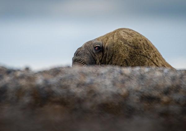 Svalbard Spitsbergen Beast Walrus Head