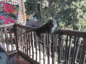 monkeys regularly visiting our balcony