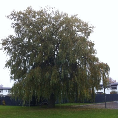 willow, Strandhavevej (November 2015)