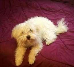 كلب لولو عمرة سنه وشهر