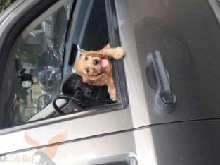 كلب كونكور 3شهور