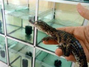 تمساح نيلي طول ٣٠ سم