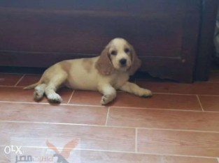 كلب كوكر 54 يوم متطعم كل التطعيمات
