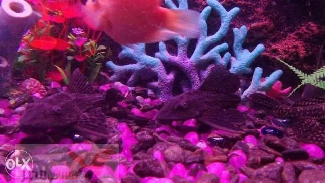 ٣ أسماك بلاك ستوماس للبيع مقاس ١٨ سم تقريباً