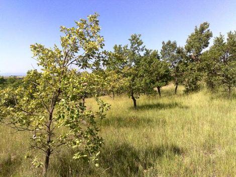 Petits chênes truffiers