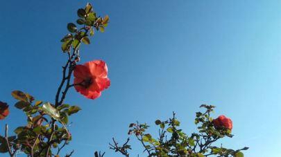 Roses dans l'azur