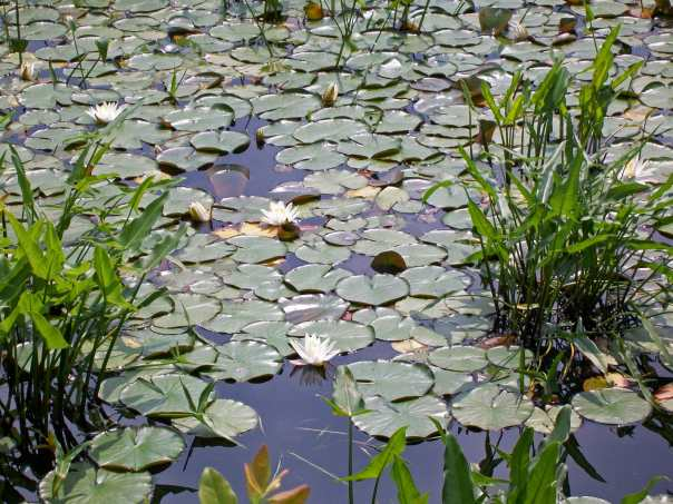 Water lilies at Lake Massabesic in Manchester, NH because we need spring