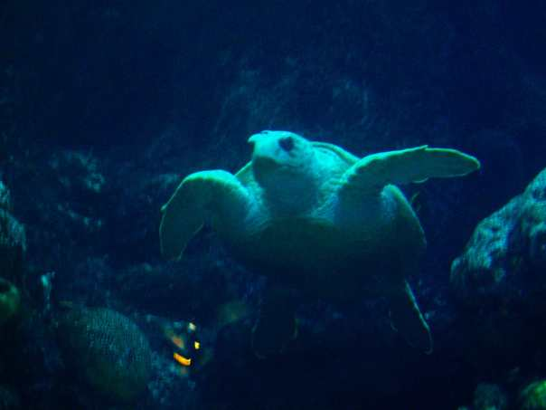 Sea Turtle at the New England Aquarium