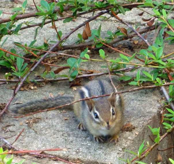 A resident chipmunk at Wellesley College hosts the blog