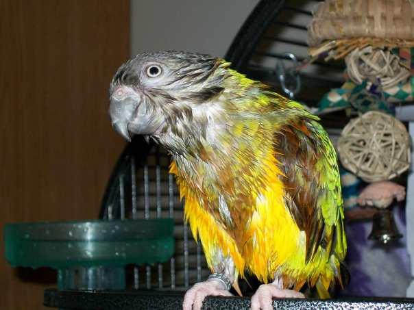 Kiwi, apres bath time, hosts the blog this week