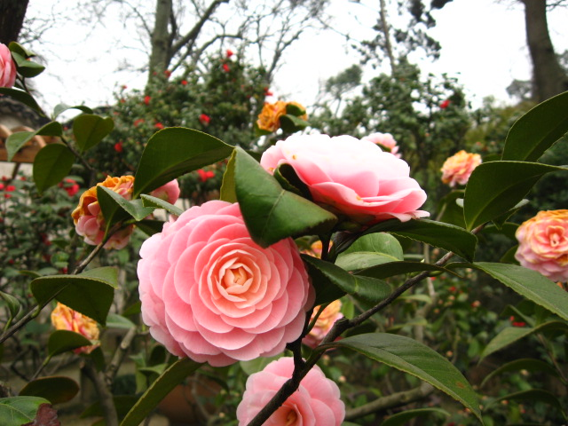 Chinese roses host the Friday Food Allergy Finds