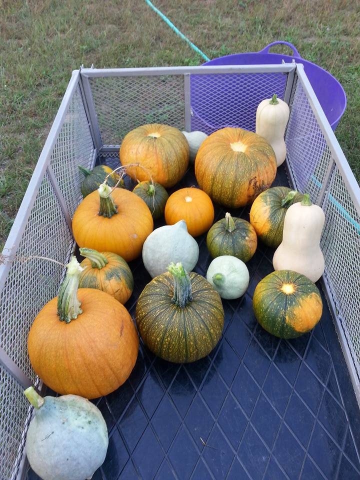 Denise's pumpkin and squash harvest