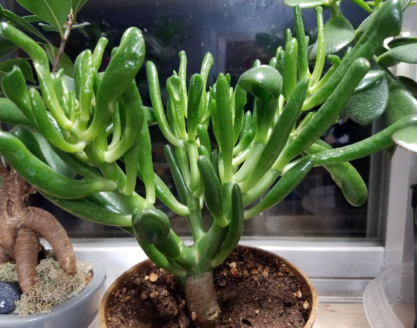 Denise's new house plant - Crassula ovata 'Gollum' (didn't even know what it was called when I bought it)