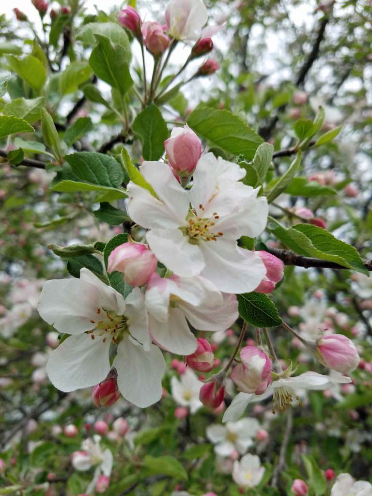 Apple blossoms in Denise's backyard
