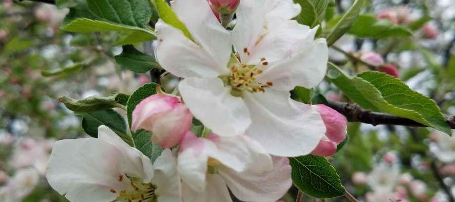 Apple blossoms in Denise's backyard