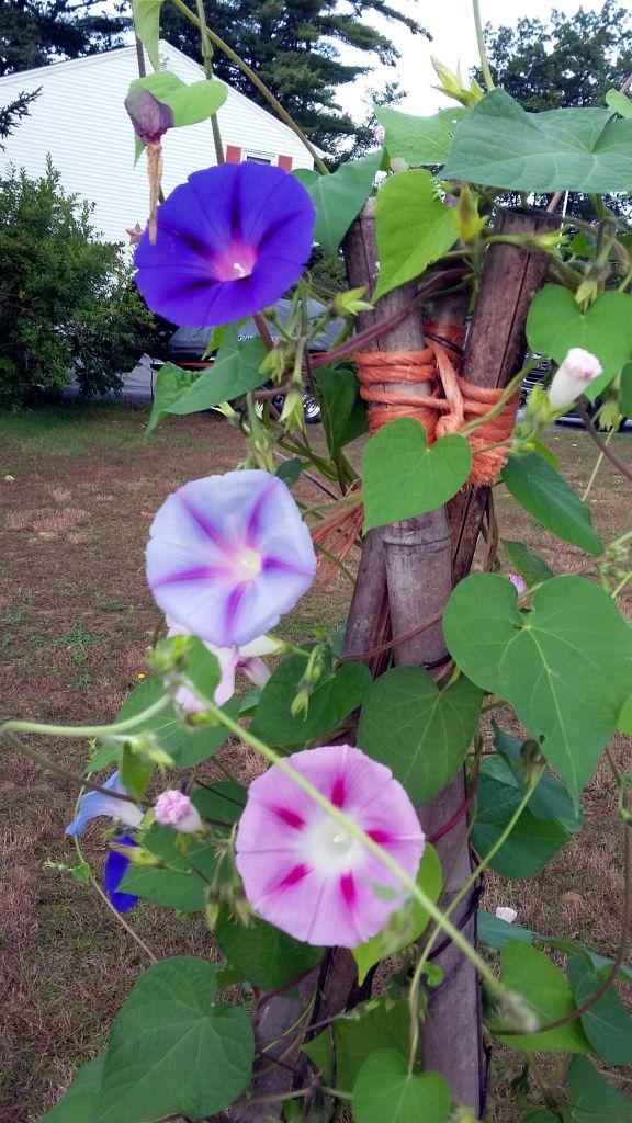 Morning Glories in Denise's backyard
