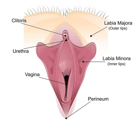 Vagina Labelled Diagram