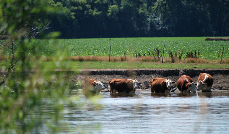 Cows in Jefferson County, WI