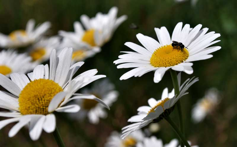 daisies and a bee