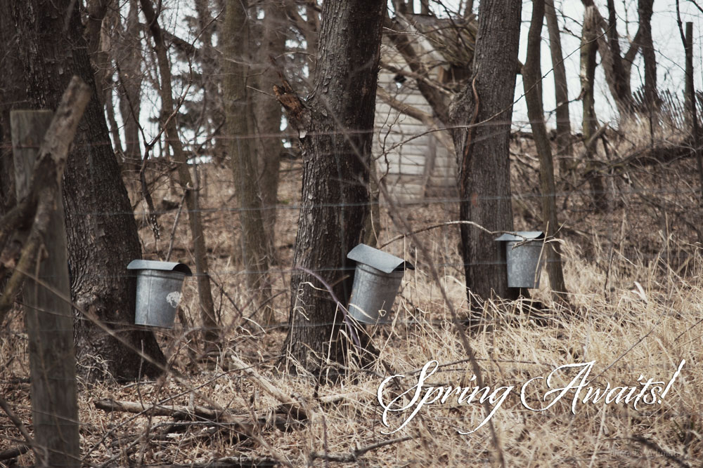 Maple sugar tapping in Wisconsin