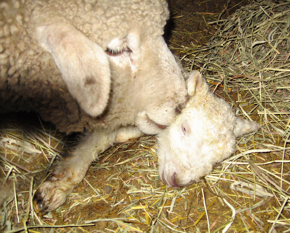 Ewe with baby lamb