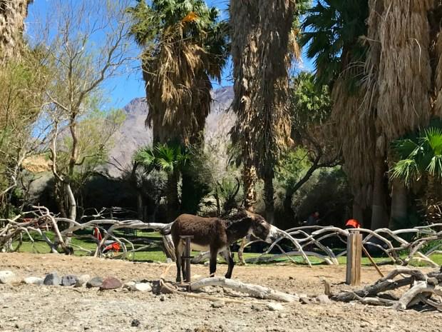 A wild burro at Saline Valley Warm Springs