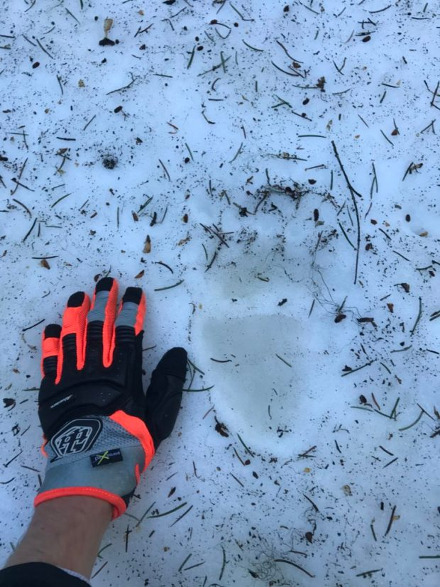 Formidable bear print in the snow