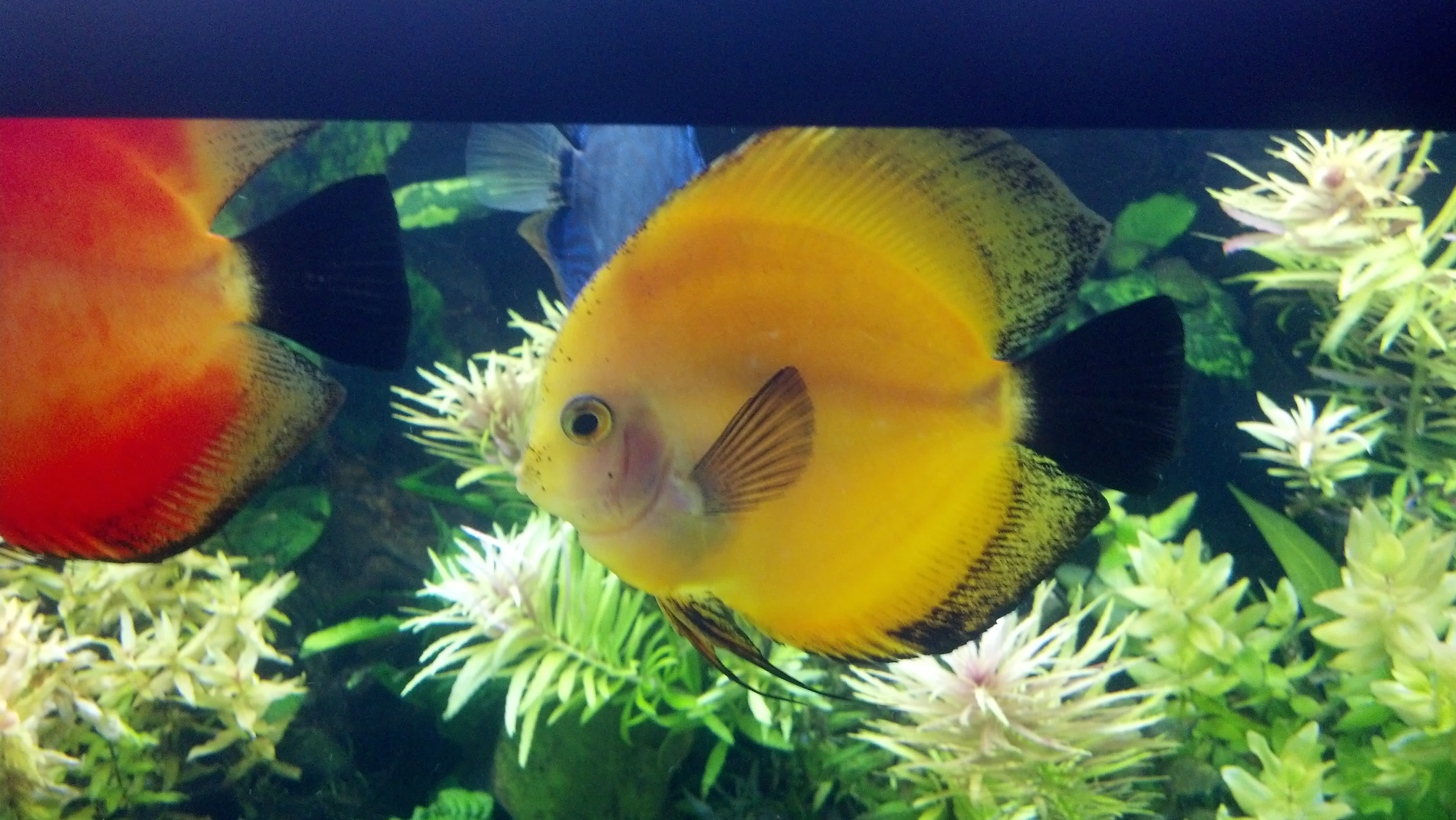 Discus care advanced aquarium concepts for Fish tank care