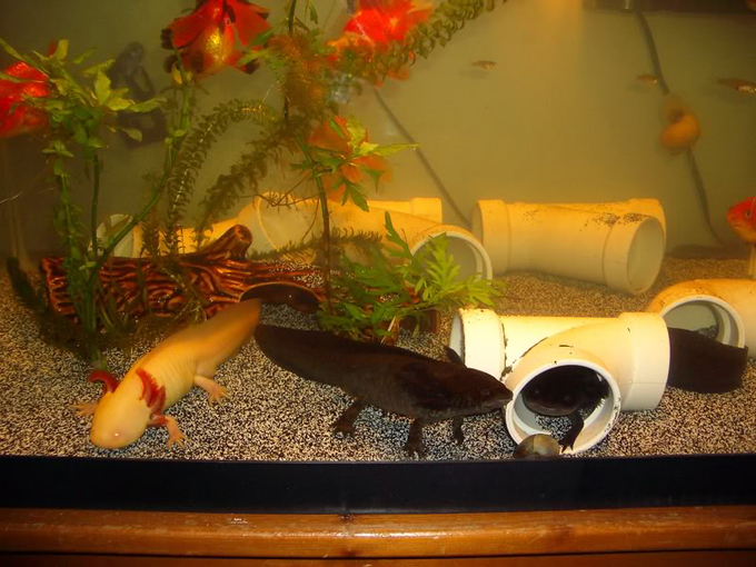 best way to setup axolotl tank