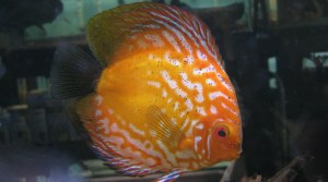 discus water changes foods