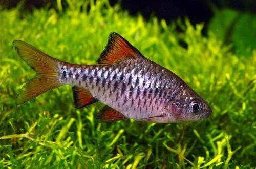 Best Tankmates for Goldfish | Advanced Aquarium Concepts