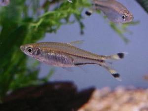 can scissortail rasboras go with goldfish