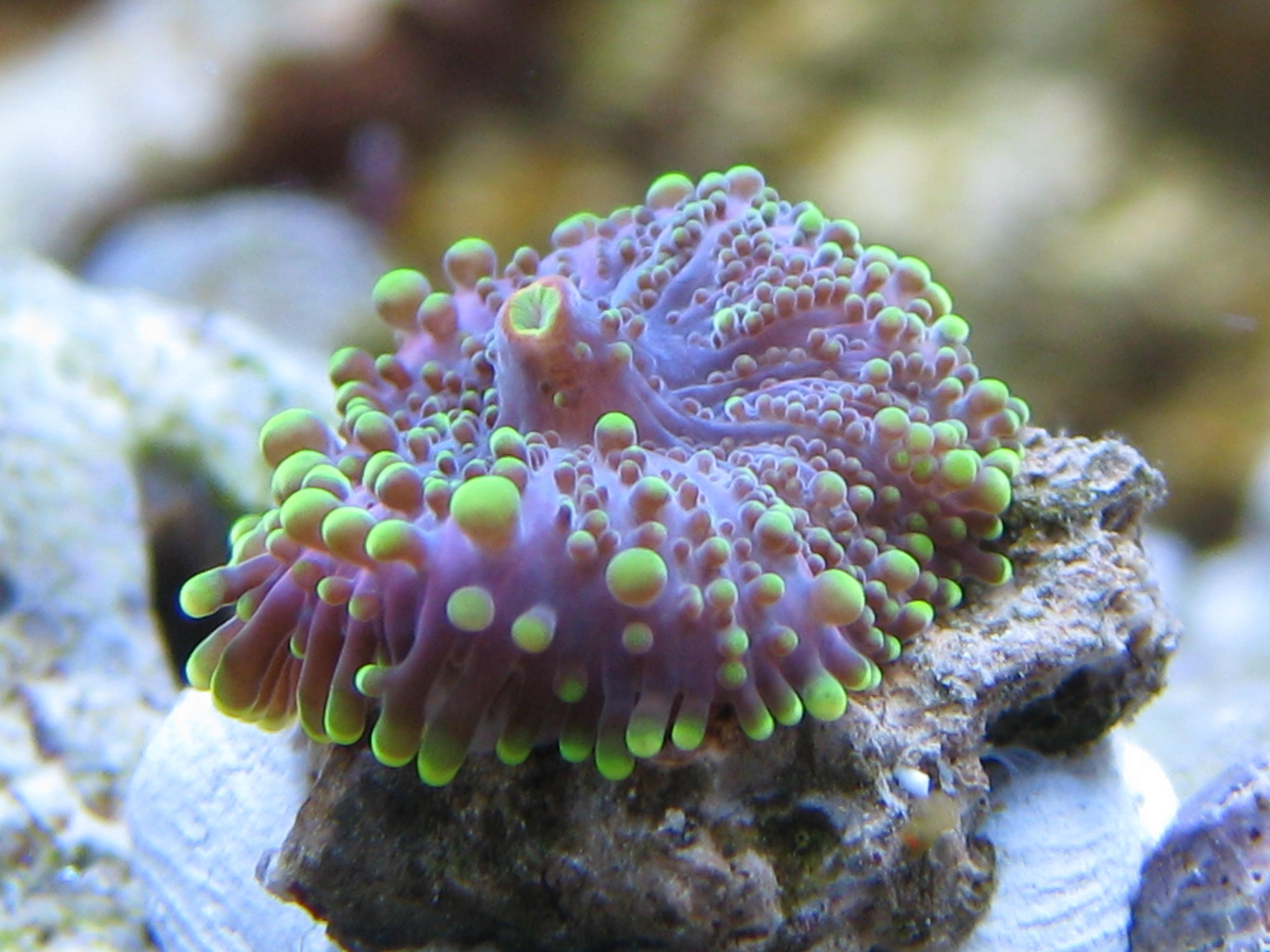 introduction to corals advanced aquarium concepts